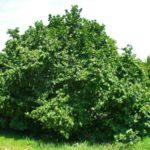 Лещина, фундук, лесной орех: в чем различие?