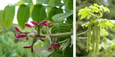 орех маньчжурский цветение