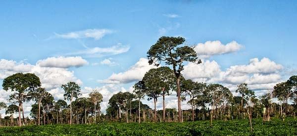 Деревья бразильского ореха