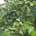 Сорта грецкого ореха: Идеал, Великан и другие