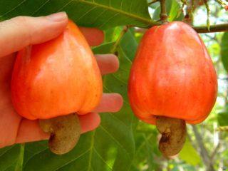 Как и где растут орехи кешью