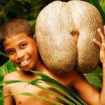 Описание и фото сейшельского ореха