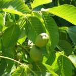 Свойства листьев грецкого ореха