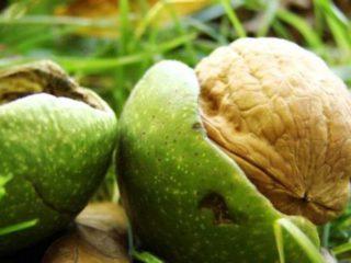 Выращиваем грецкий орех из орешка