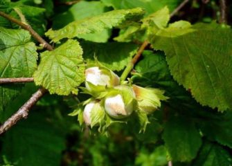 Сорта фундука: Трапезунд, Кавказ и другие