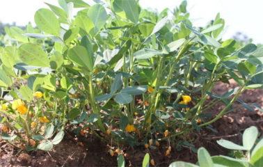 Выращиваем арахис в домашних условиях и на даче
