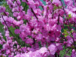 Миндаль трехлопастной: описание, выращивание, сотра