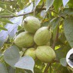 Орех серый: описание, польза и особенности выращивания