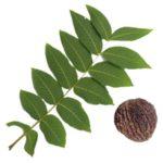 Листья чёрного ореха: свойства и применение