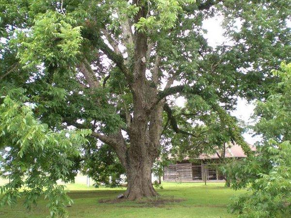 орех пекан дерево