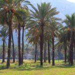 Как растут финики, как выглядят финиковые пальмы. В дикой природе и в домашних условиях